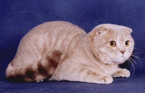 Шотла́ндская вислоу́хая ко́шка или скоттиш-фолд. англ.