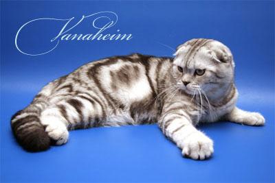 ... b британский вислоухий /b кот чемпион.