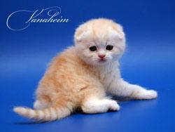 Шотландский вислоухий кот.